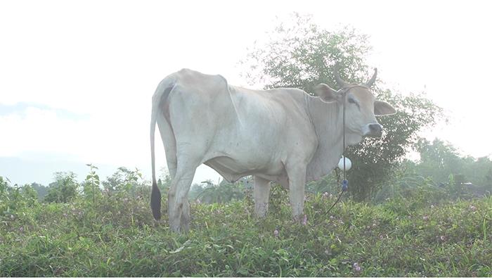 cow philippines